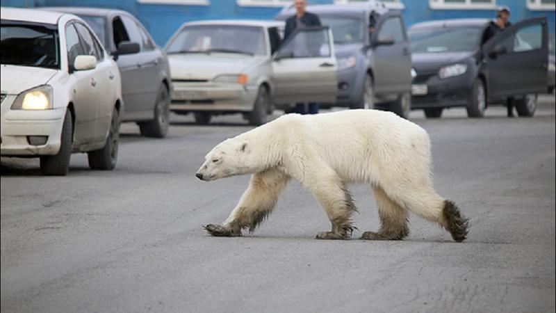 Ursul plimbaret